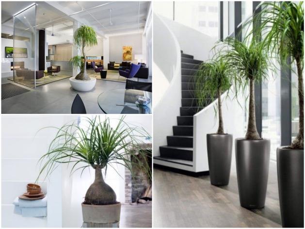 arbuste palmier pied d'éléphant choisir sa plante d'intérieur