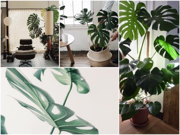 Plante tropicale feuille géante pour intérieur