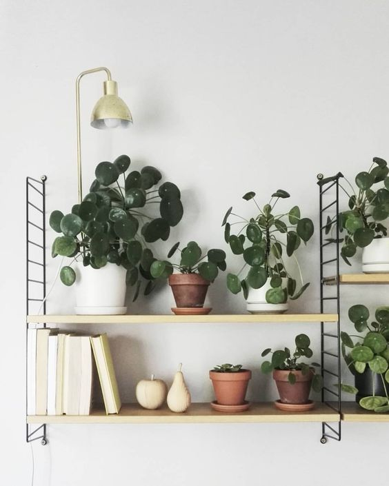 pilea peperomioides la star des plantes grasses blog d co clemaroundthecorner. Black Bedroom Furniture Sets. Home Design Ideas