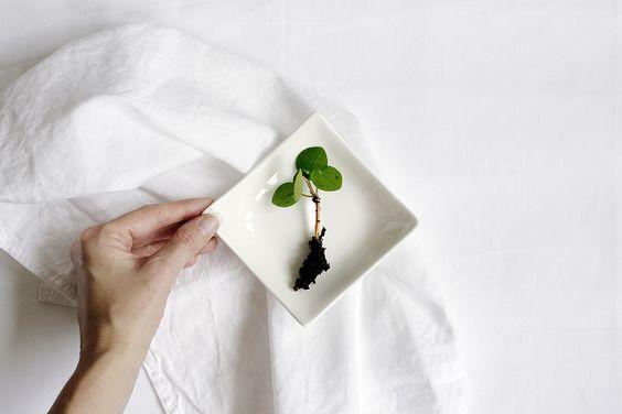 bouture de pilea peperomioides printemps rempotage