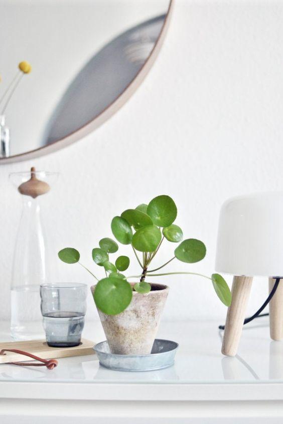 entretien plante succulente pilea peperomiodes