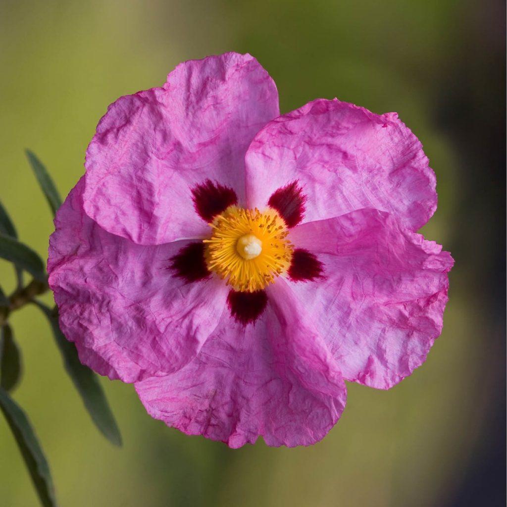 plantes balcon exposition ciste pourpre cistus purpureus - blog déco - clem around the corner