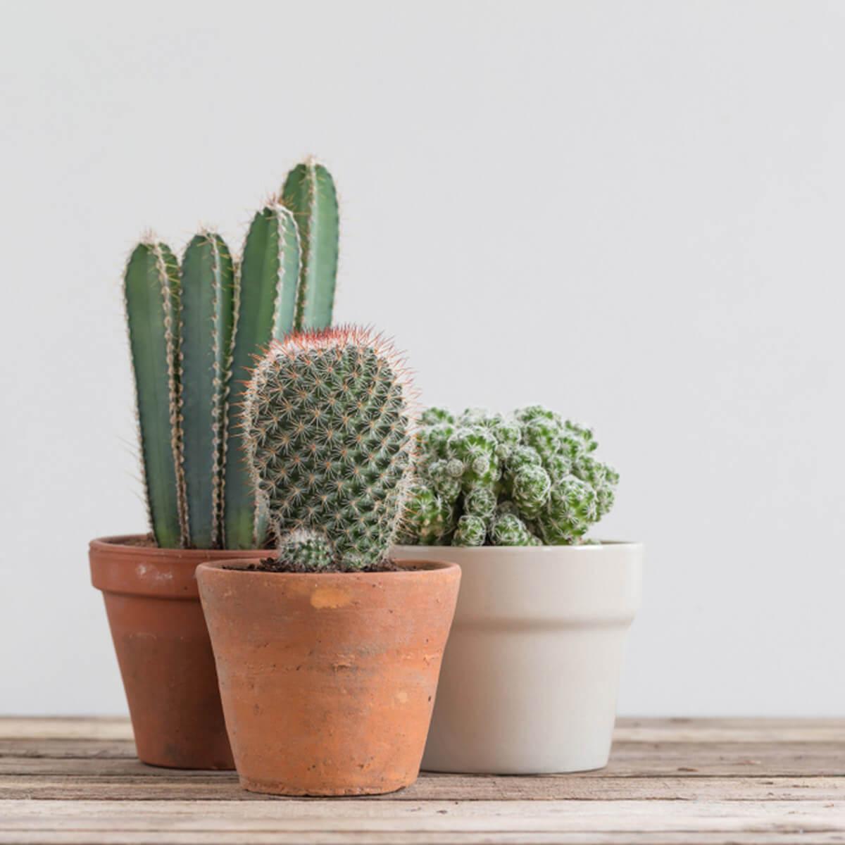 plantes balcon exposition sud cactus en pot - blog déco - clem around the corner