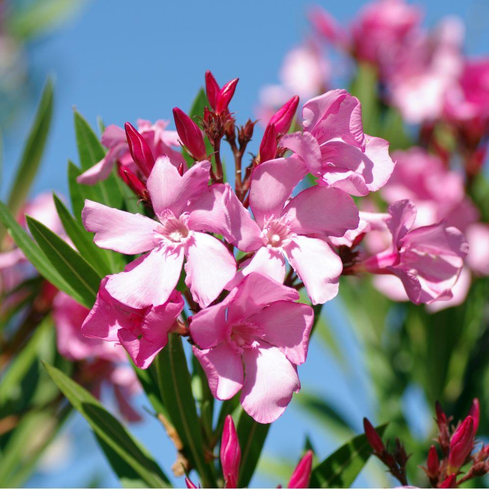 plantes balcon exposition sud laurier rose emilie - blog déco - clem around the corner