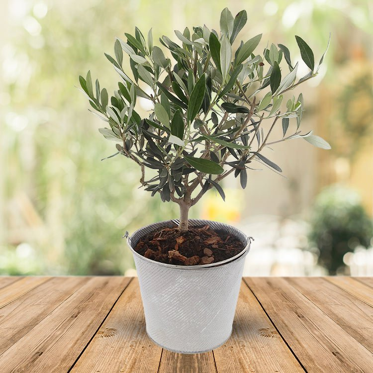 plantes balcon exposition sud olivier pot - blog déco - clem around the corner