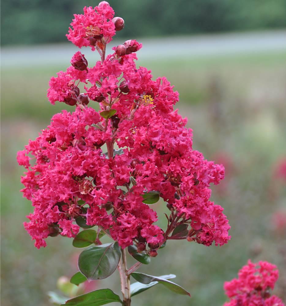 plantes balcon exposition sud lillas des indes rose - blog déco - clem around the corner