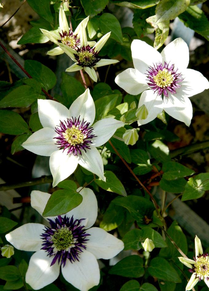 plante balcon ouest clématite blanche violette feuille - blog déco - clem around the corner
