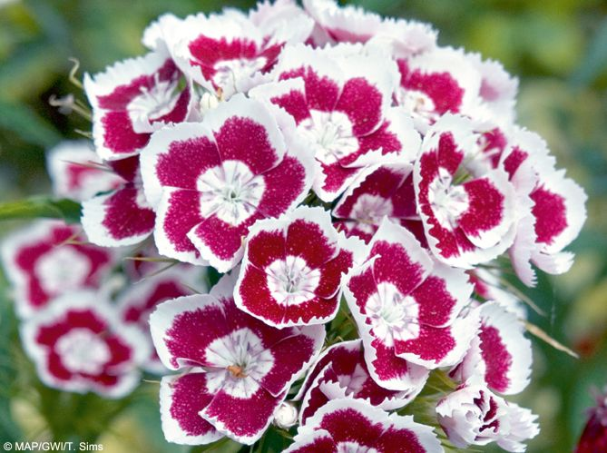 plante balcon ouest oeillet rose blanche bouquet jardin - blog déco - clem around the corner
