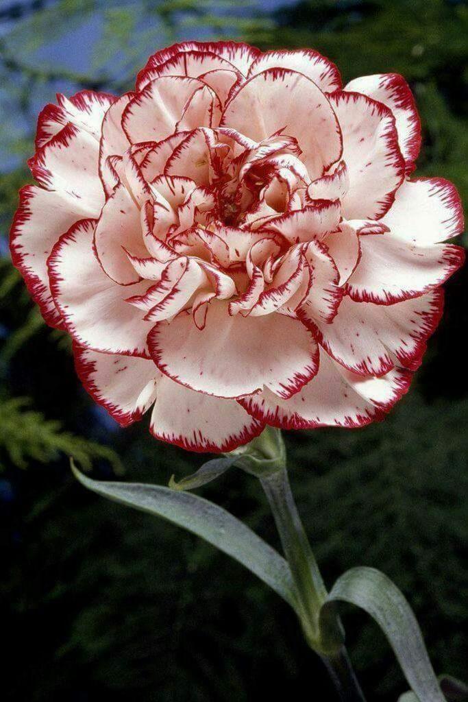 plante balcon ouest oeillet blanche rouge jardin fleur - blog déco - clem around the corner