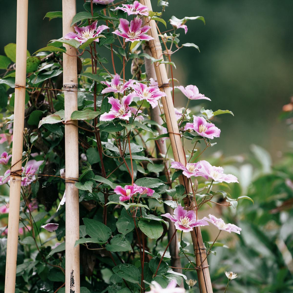 plante grimpante balcon Ouest fleur étoile blanche violette rose