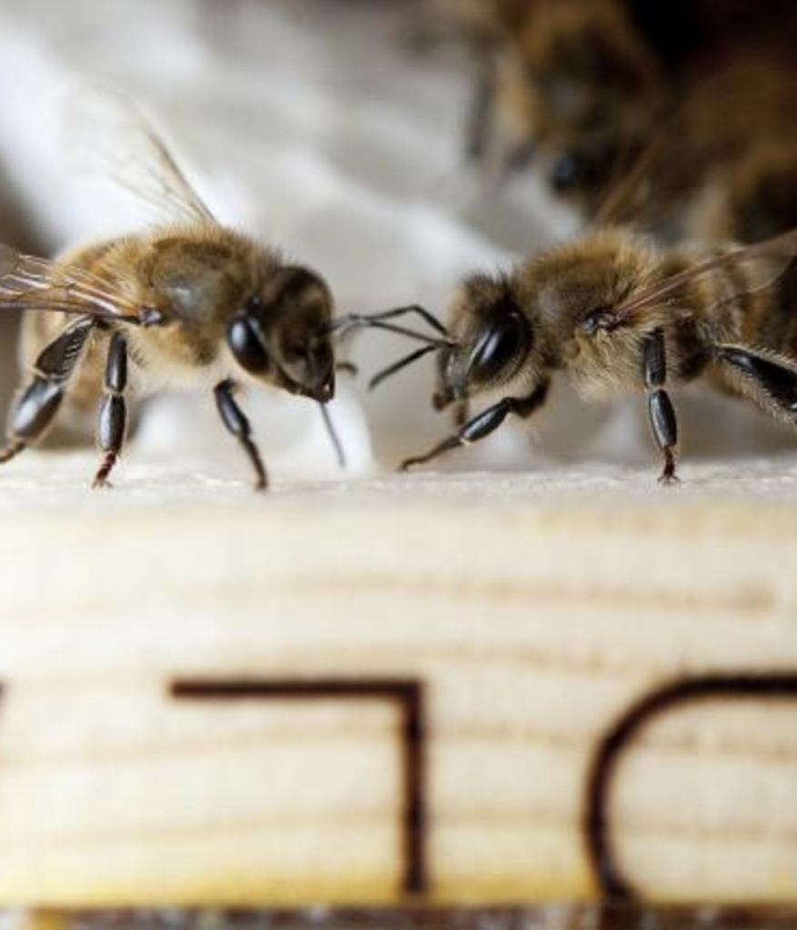 abeille insecte pollinisateur en voie de disparition apiculture ruche miel - blog déco - clemaroundthecorner