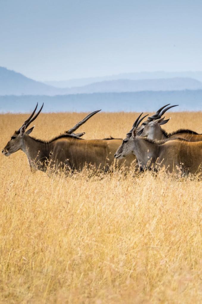 eland du cap animal sauvage planète sauvage zoo parc animalier - blog clemaroundthecorner