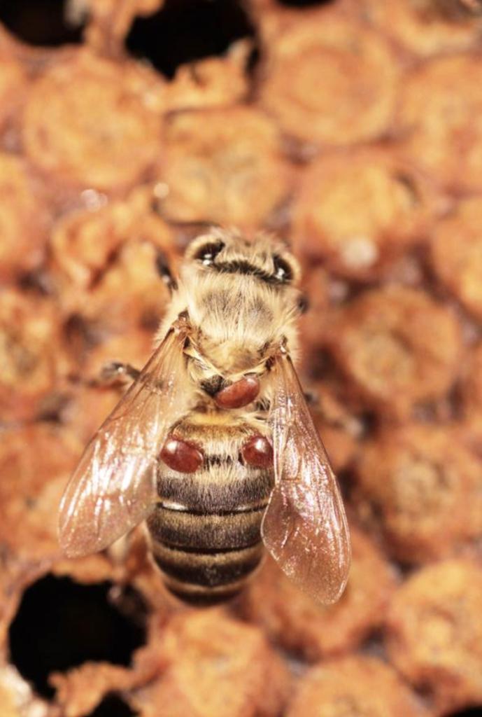 varroa acarien qui affaiblit et tue les abeilles ruche protéger ruche - blog déco - clematc