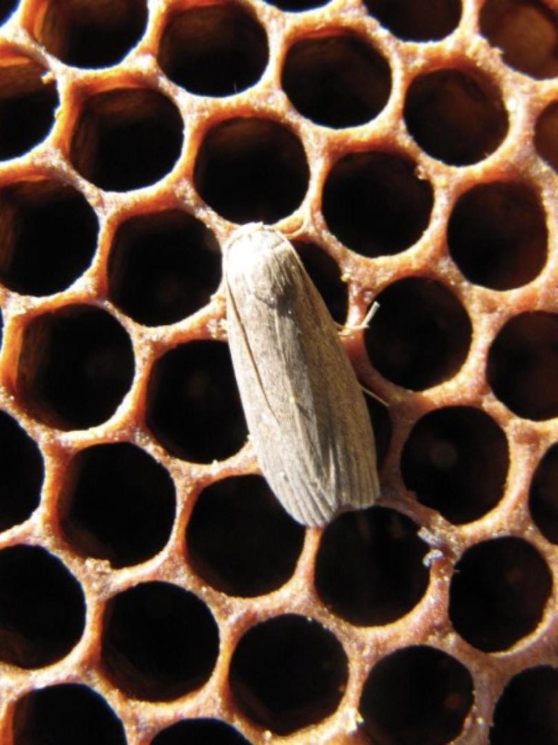 la fausse teigne sauver protéger les abeilles ruche destructeur - blog déco - clemaroundthecorner