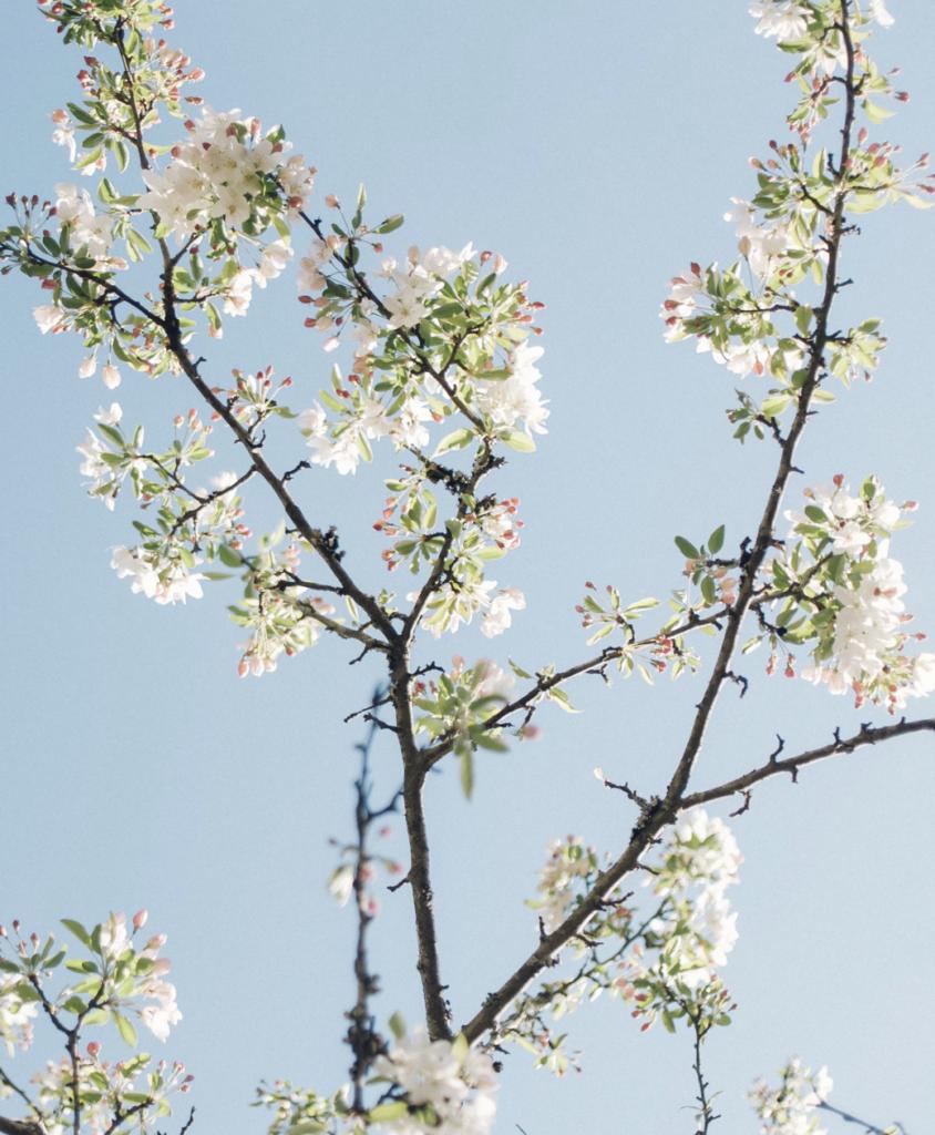 prunelier arbre en fleur blanche pollen pour les abeilles clematc