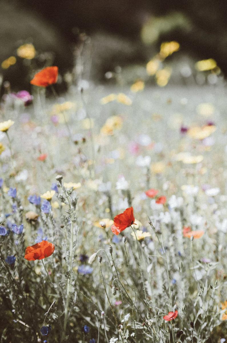 fleurs sauvages et mélifères pour nourir les abeilles champ de fleurs - blog déco - clematc