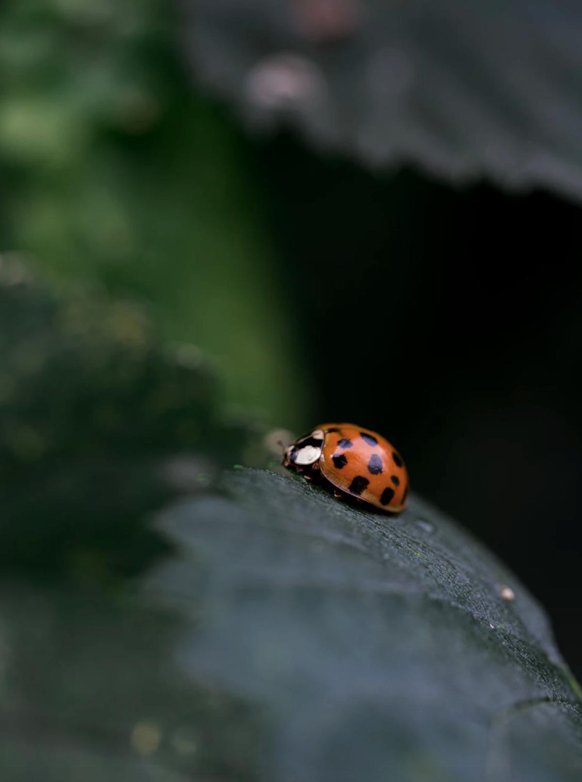 coccinelle mangeur pucerons insectes extérieur nature biodiversité - clematc