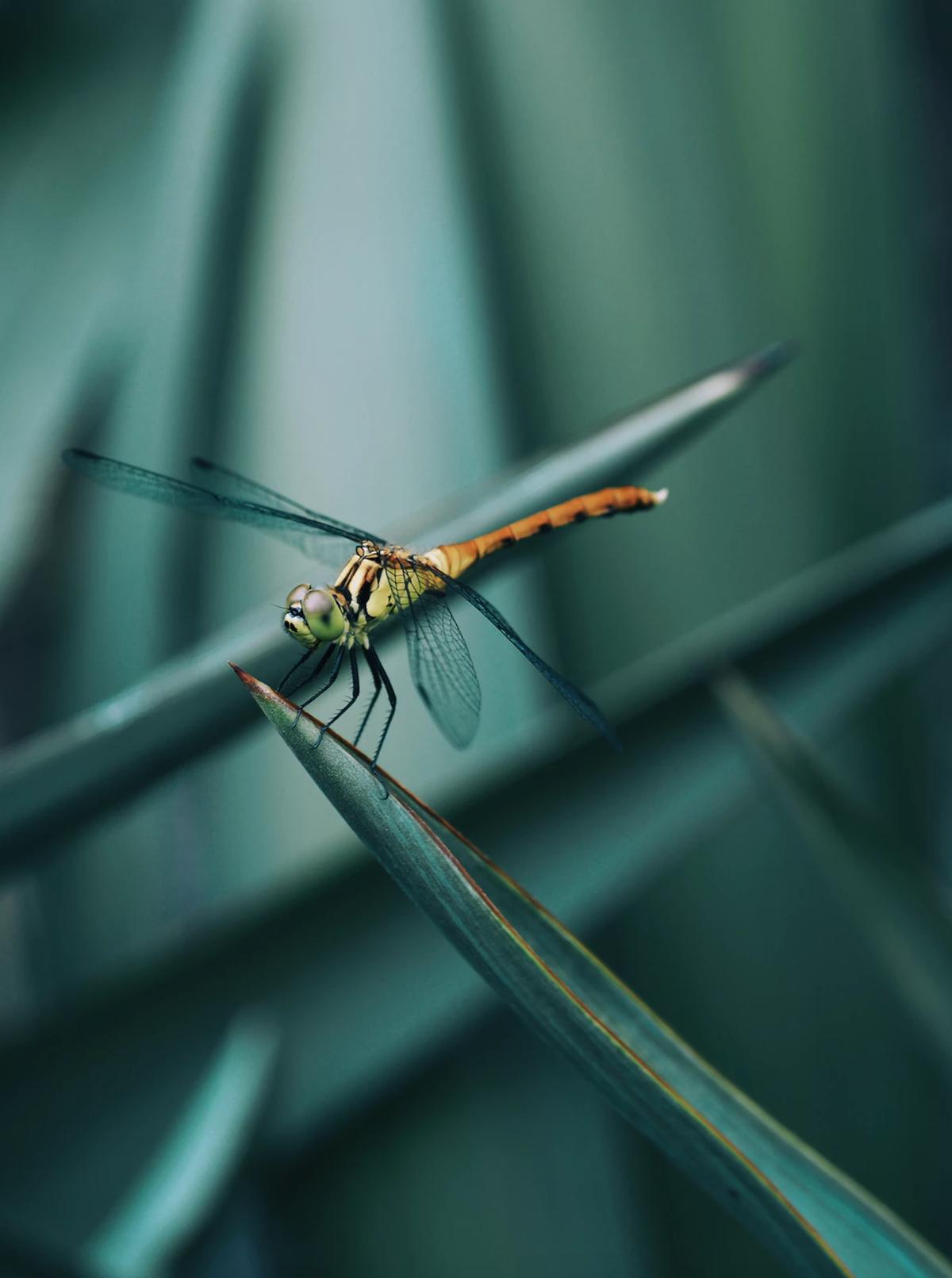 libellule insecte auxiliaire mangeur insecte - blog déco - clemaroundthecorner