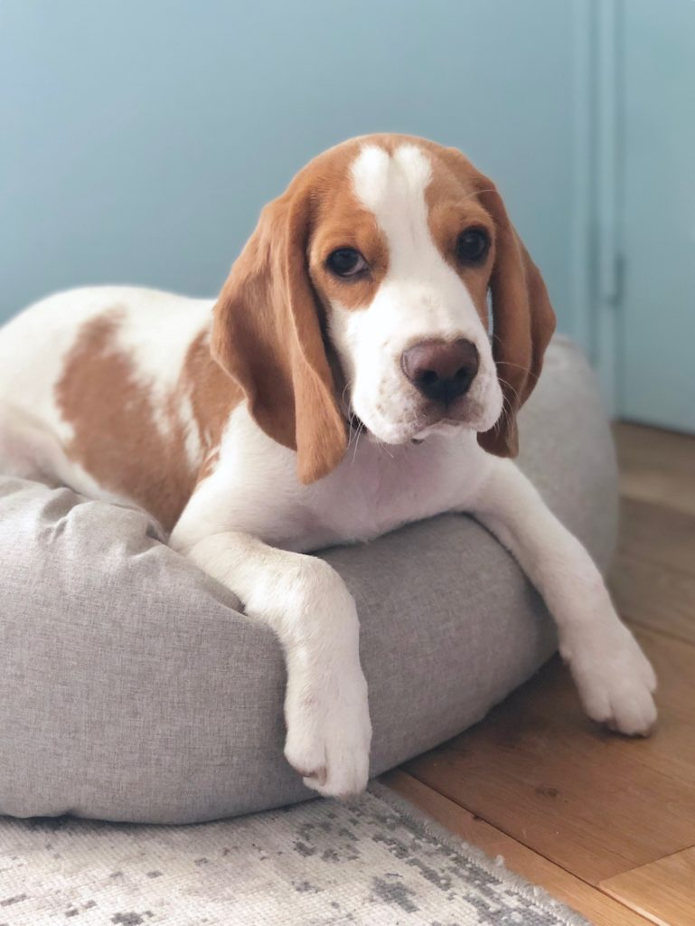avis lit panier design chien chiot beagle - blog déco - clem around the corner