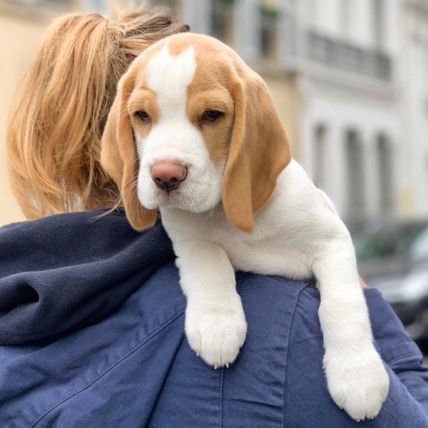 conseil équipement accueil chiot beagle déco maison panier design chien accessoire cage jouet gamelle