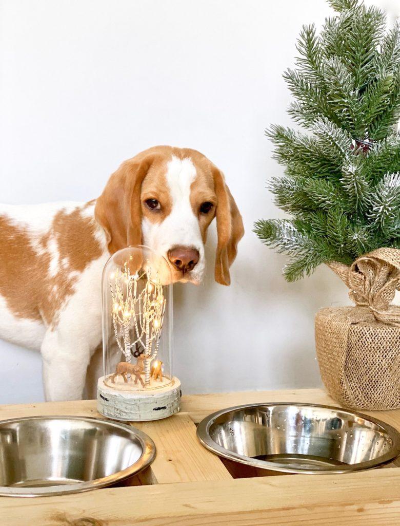 pomme chiot chien beagle lemon clem around the corner