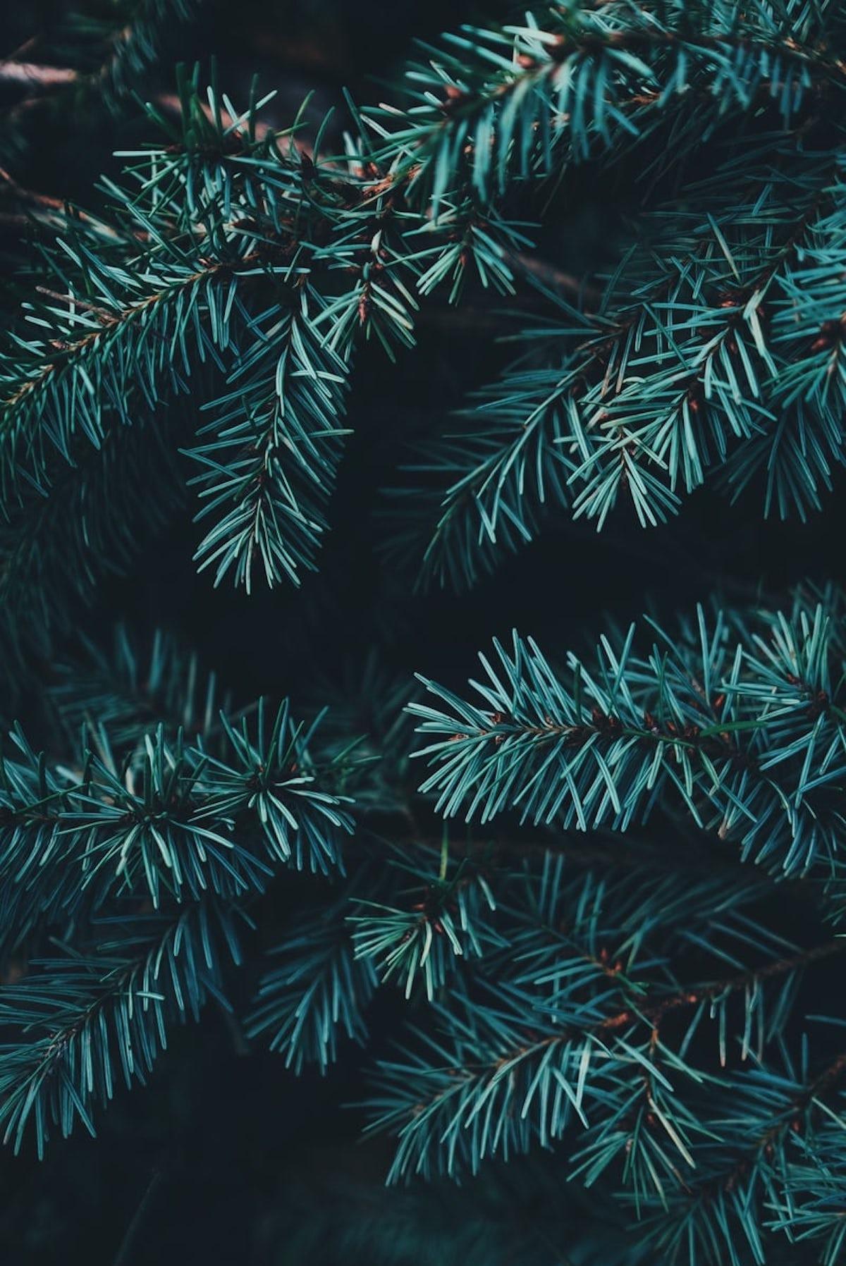 épine de sapin de noël vert naturel fête bleu
