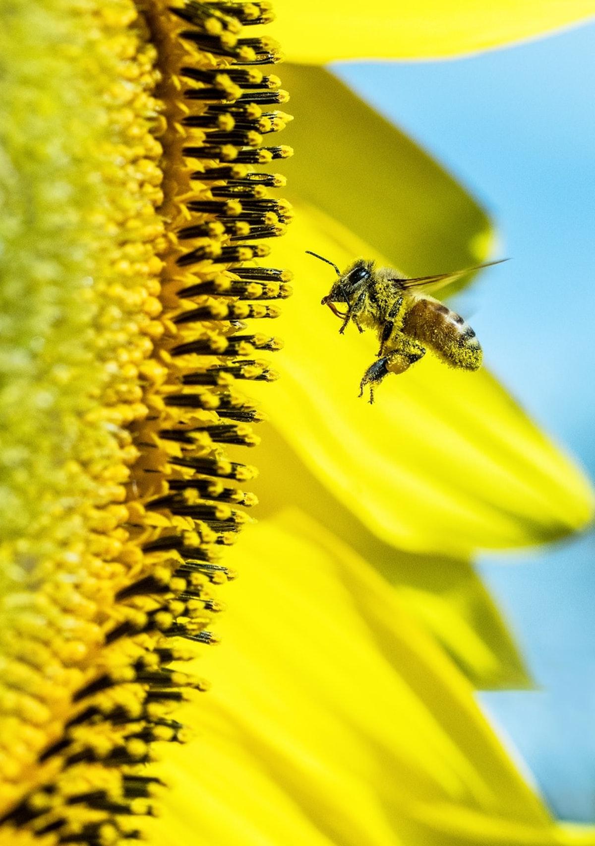 bee abeille pollen cire d abeille tournesol récolte - blog déco - clemaroundthecorner