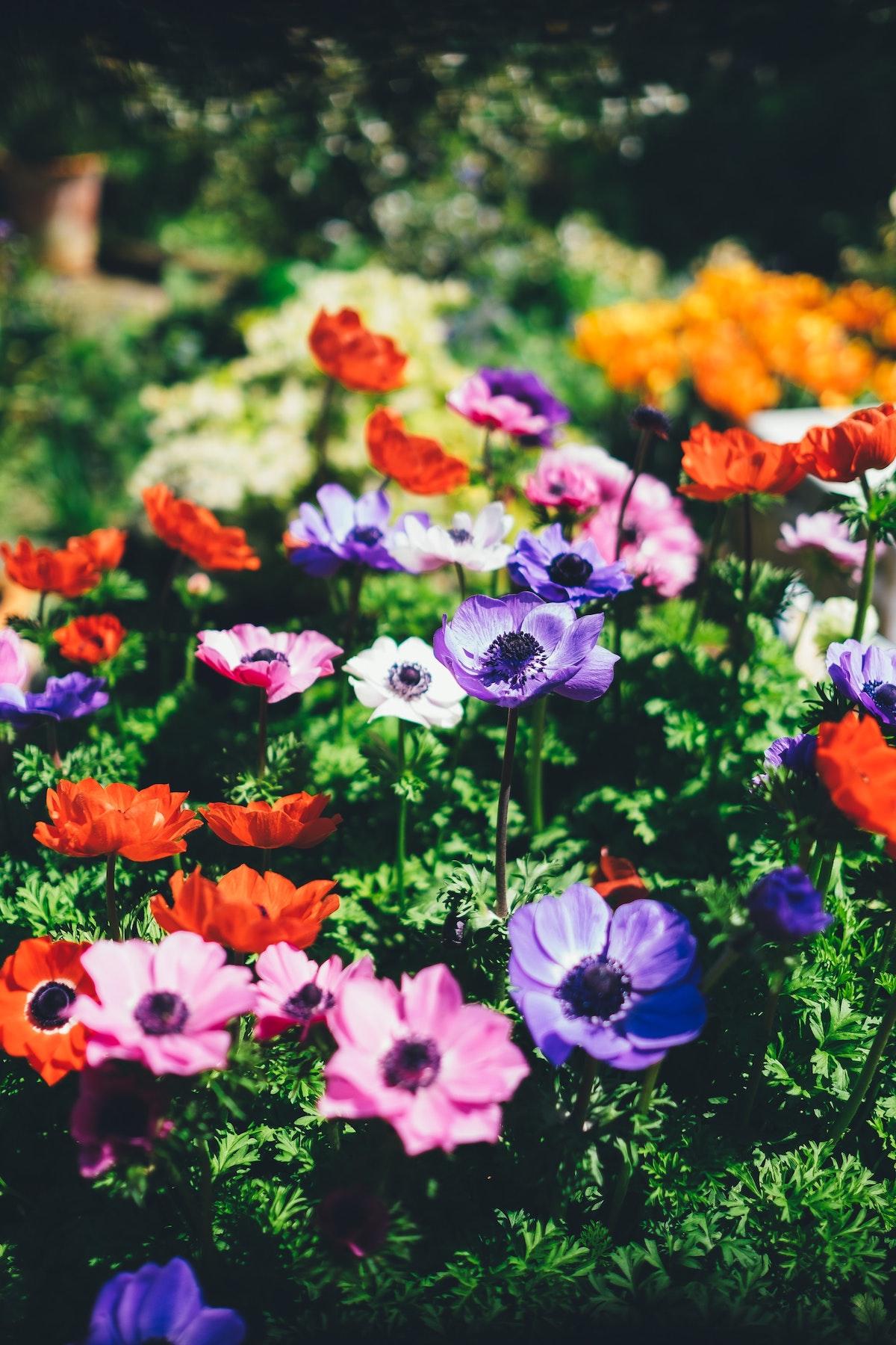 Aménager un jardin à l'anglaise fleur buisson violet rose rouge anémone