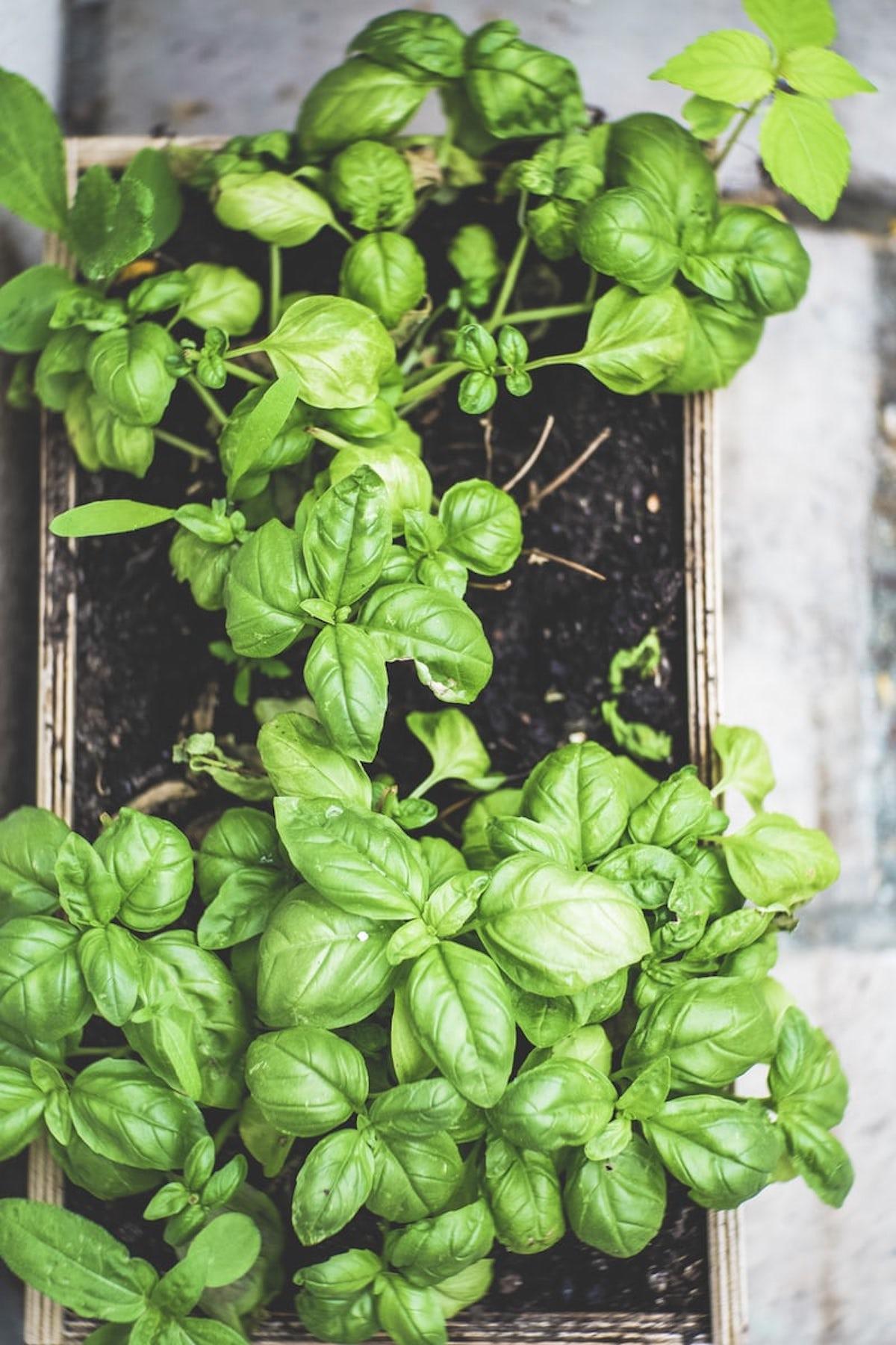 basilic plante aromatique potager intérieur - blog déco - clematc