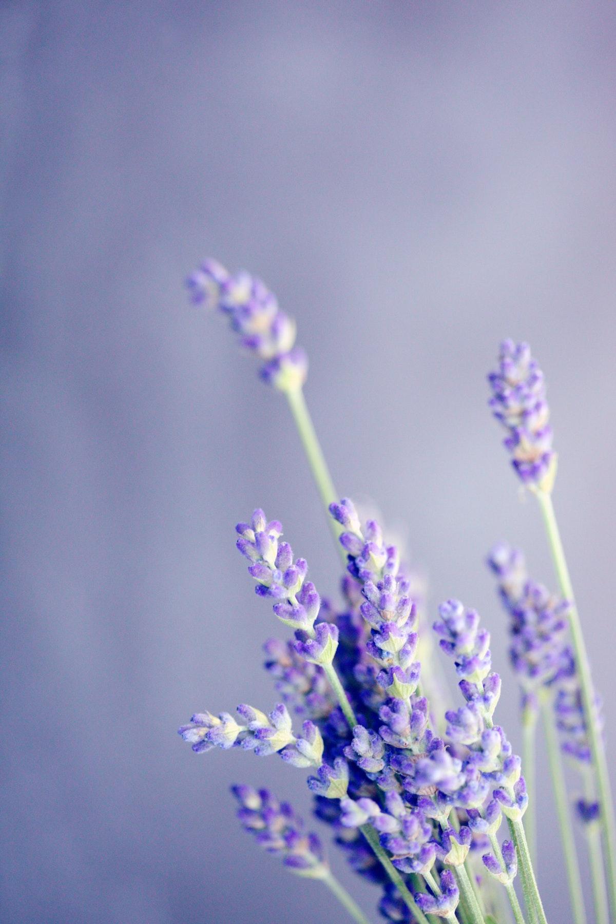 bouquet de lavande branche violette mauve