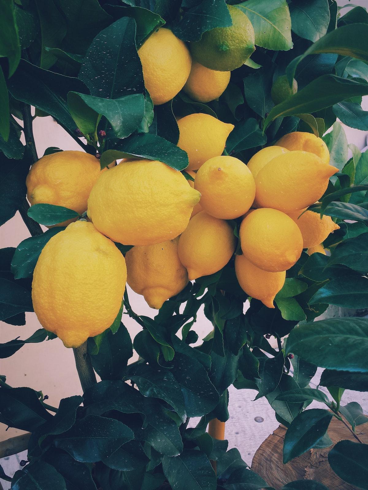 faire pousser citron paris arbre fruitier conseil citronnier