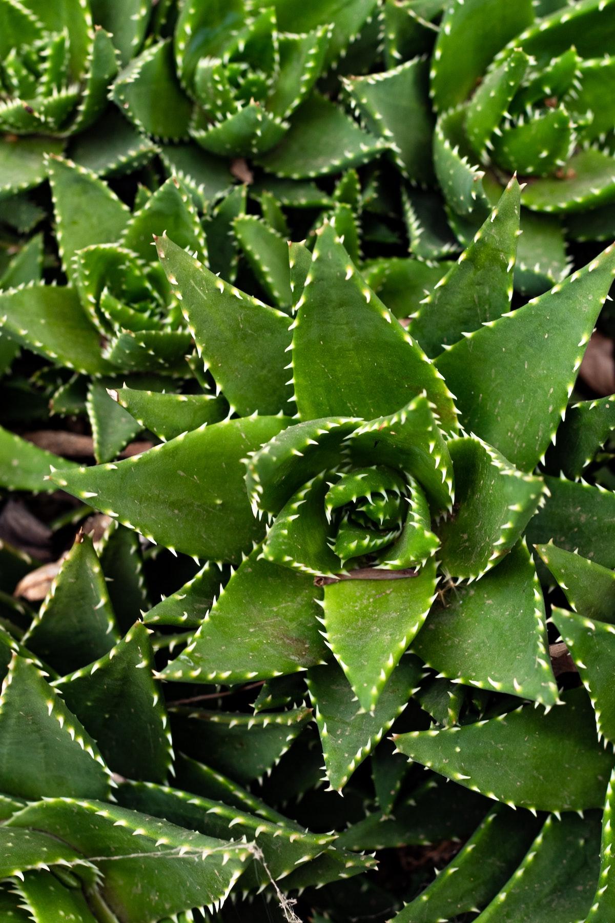 plante exotique aloe vera propriétés soin corps cheveux