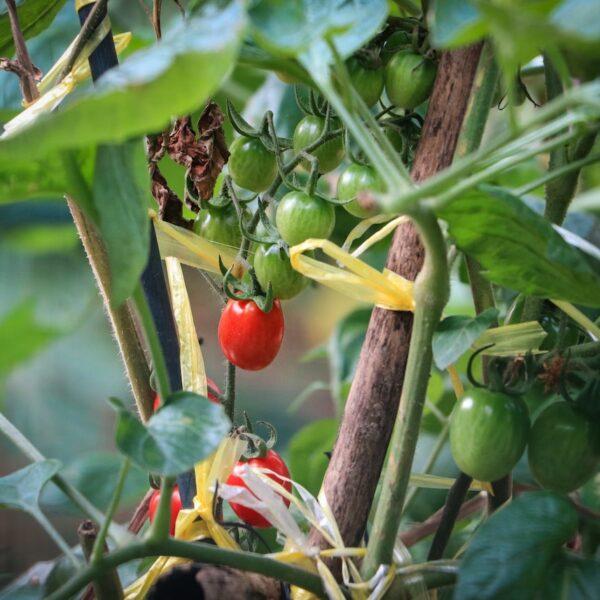 potager intérieur tomate cerise - blog déco - clematc