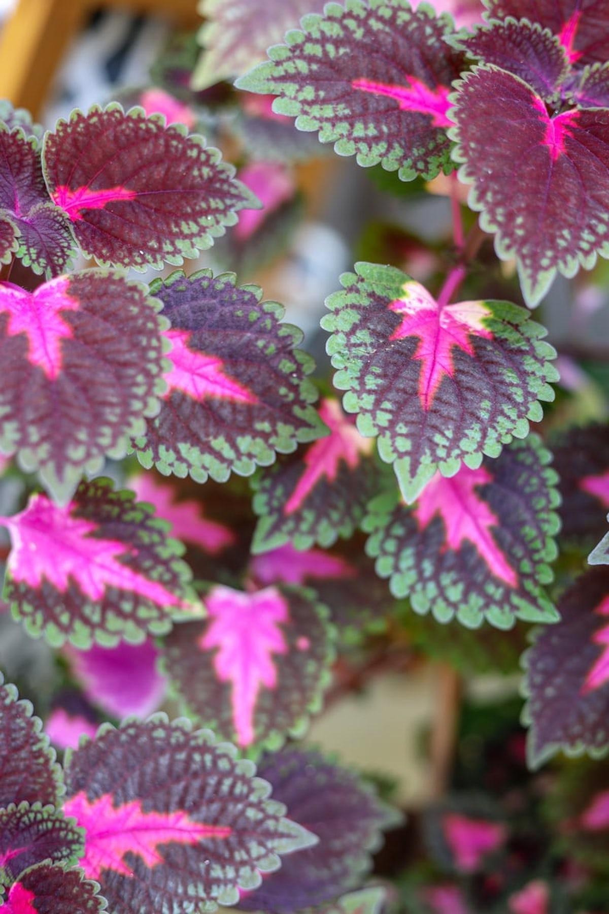 coléus feuille colorée rose vert que planter en mars - blog déco - clematc