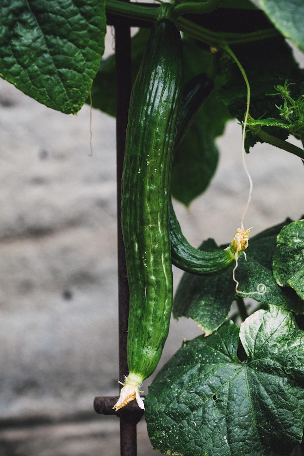 cucurbitacé concombre potager légume semer planter - clematc
