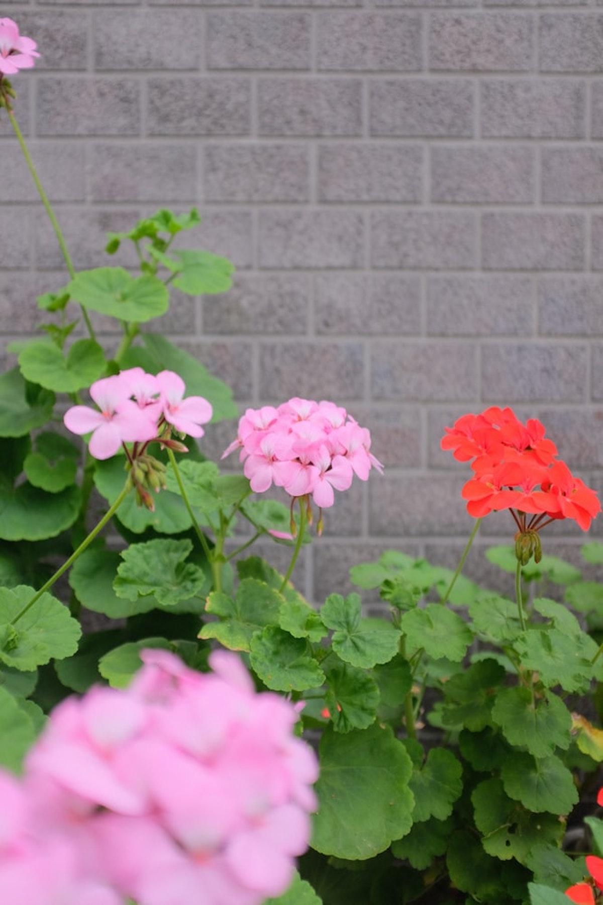 géranium plante colorée rose rouge feuille verte - blog déco - clemaroundthecorner
