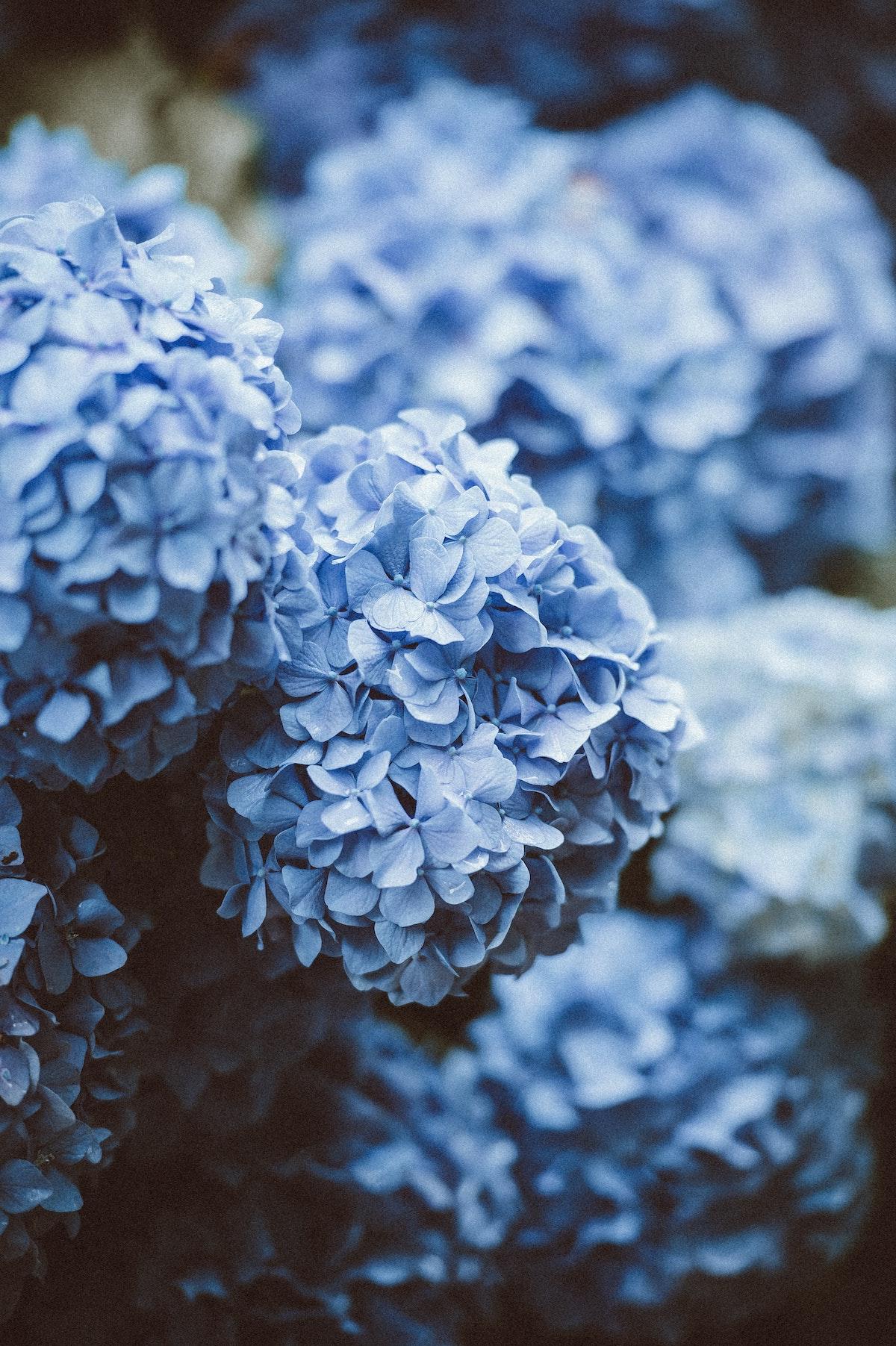 comment entretenir faire pousser hortensia bleu gris terrasse