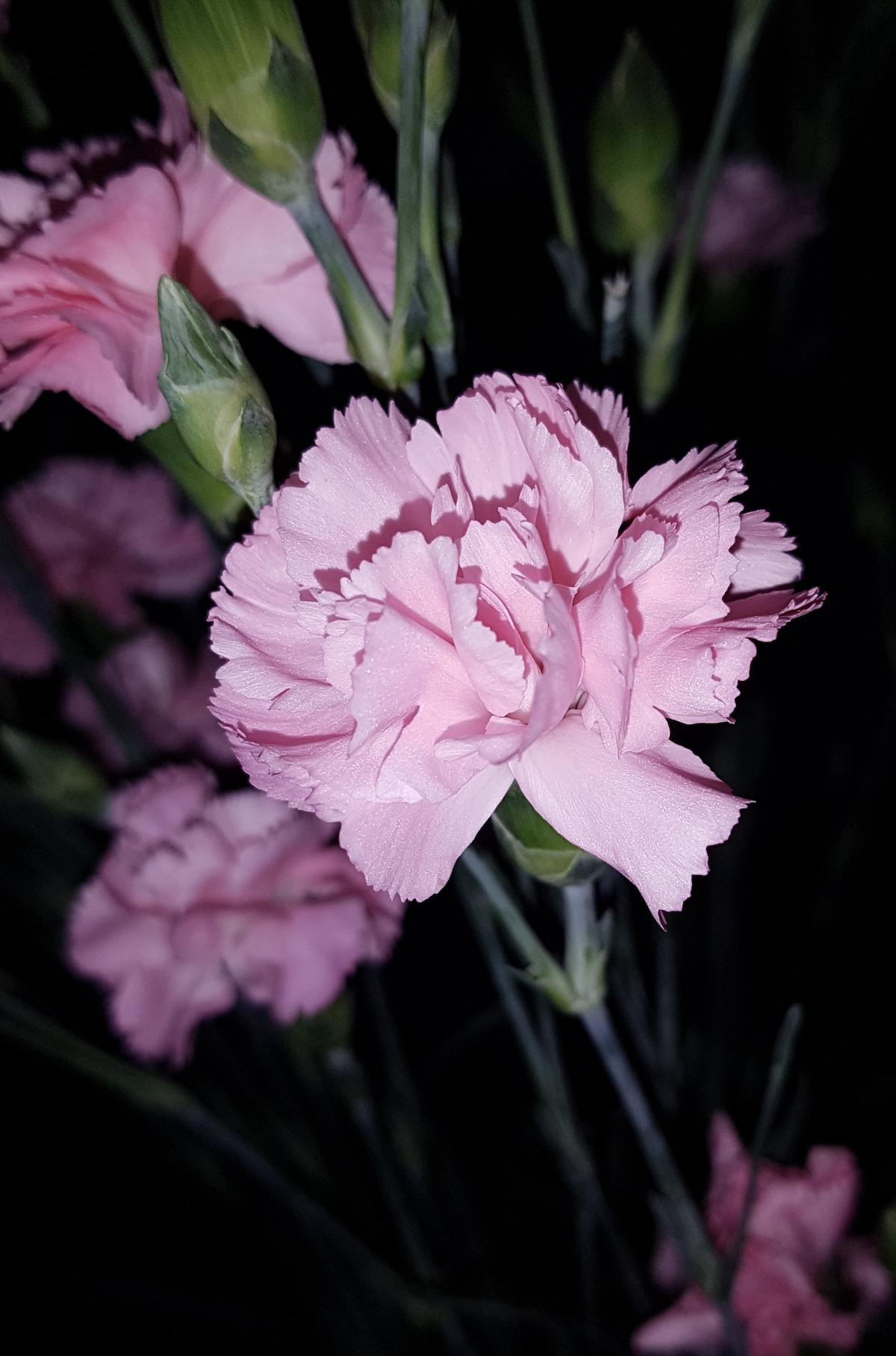 dianthus oeillet français rose conseil plantation entretien