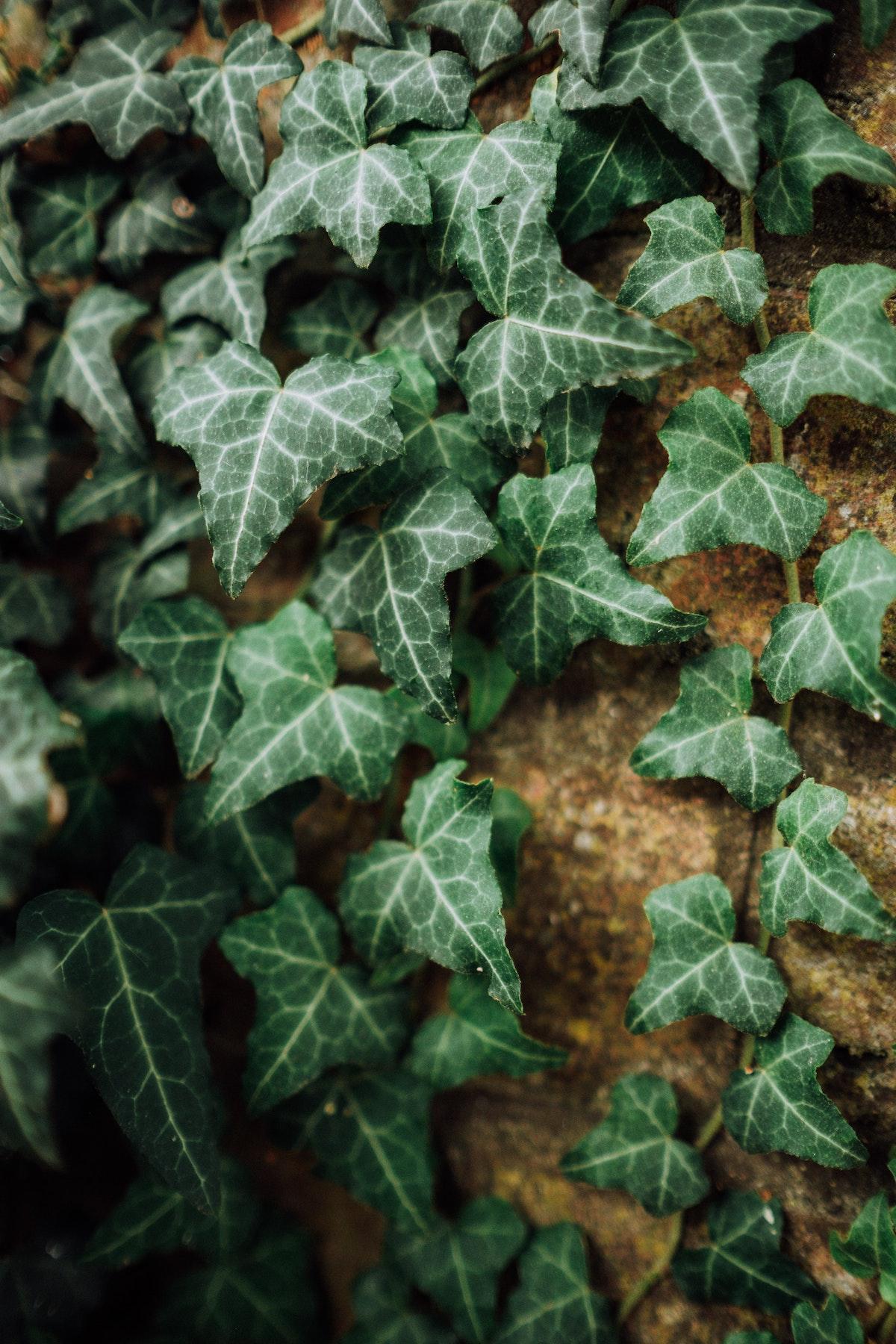 lierre grimpant façade maison plante détoxifiante purifiante