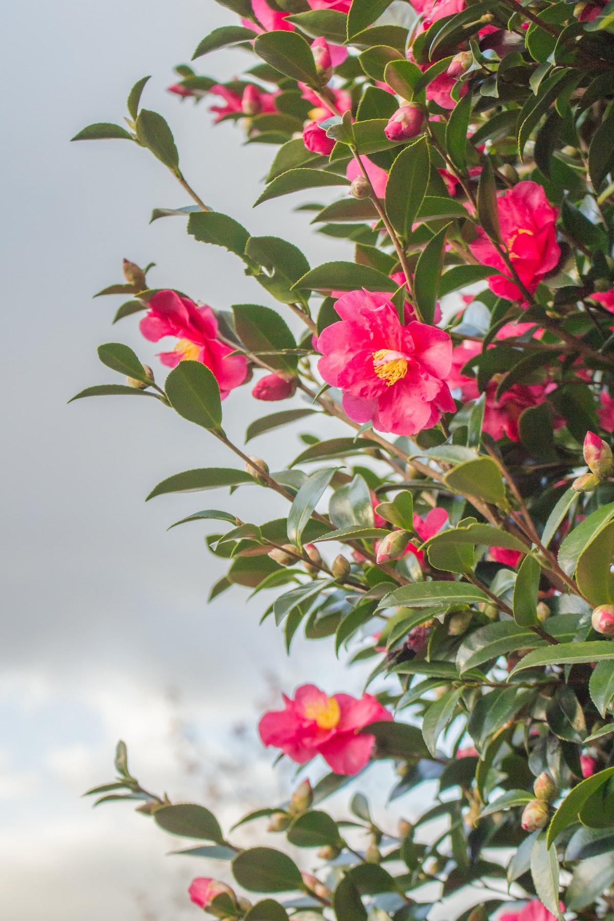 mur camélia végétal plante verte à fleur rouge rose